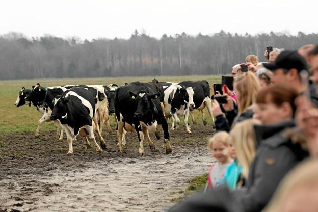 Den 14. april kan man opleve synet af 200 malkekøer, der lukkes på græs. Foto: Allan Mortensen
