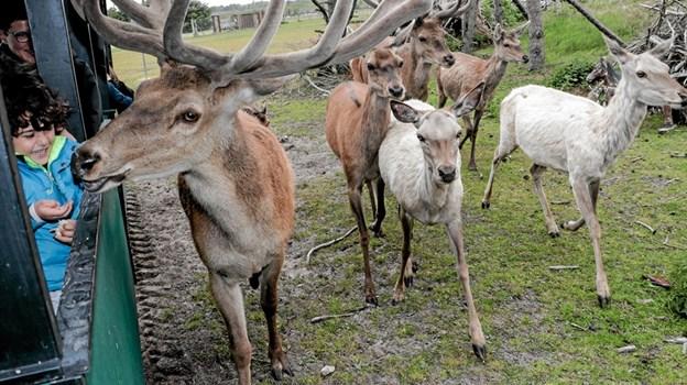 På togturen kommer man helt tæt på krondyrene, og kan fodre dem med hånden. Foto: Peter Jørgensen Peter Jørgensen