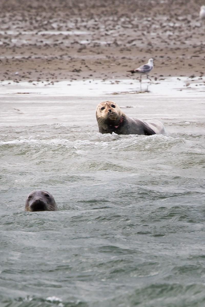 Sælerne ligger og hygger sig på nogle holme i Krik Vig inden, de går på jagt i Vesterhavet.
