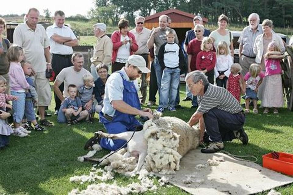 ee6bf9b63e8 Kjeld Betzer fra Hyldebjerg demonstrerer klipning af får for publikum på  Boldrup Museum søndag 3. september. ARKIVFOTO: GRETE DAHL