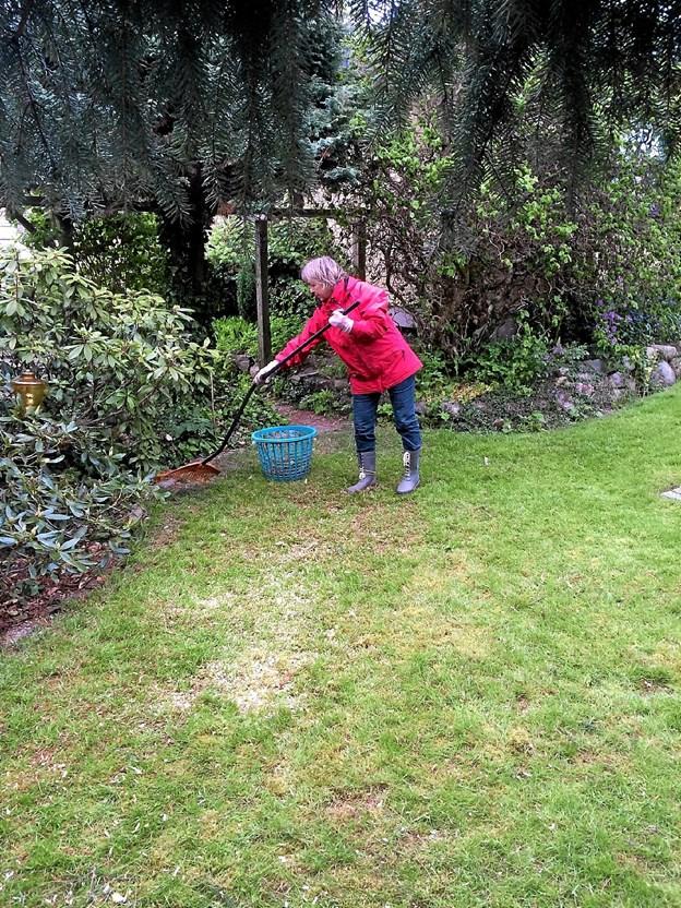 Græsset kom igen, men det har godt af en god og grundig rivetur, så alt det visne kan komme væk.