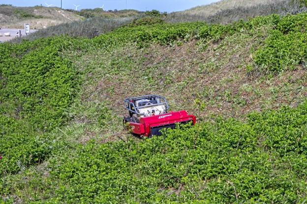 Denne særlige maskine har kørt over og over hybenrosekrattene blandet andet ved parkeringspladsen på Grenen. Foto: Karsten Frisk. Karsten Frisk