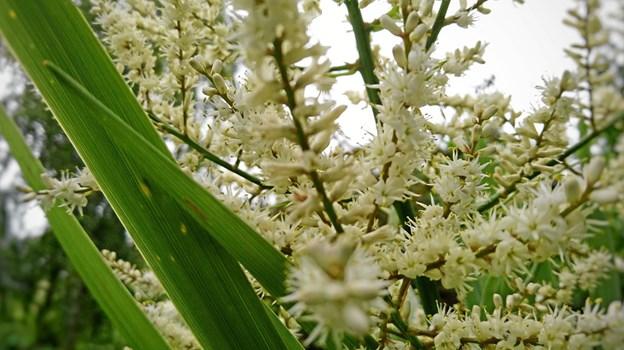 Palmernes blomster har en meget speciel og lidt krydret lugt.