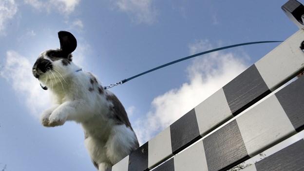 Det bliver også muligt at få part i en kanin i rideklubben og undervisning i kaninhop. Arkivfoto: Peter Mørk