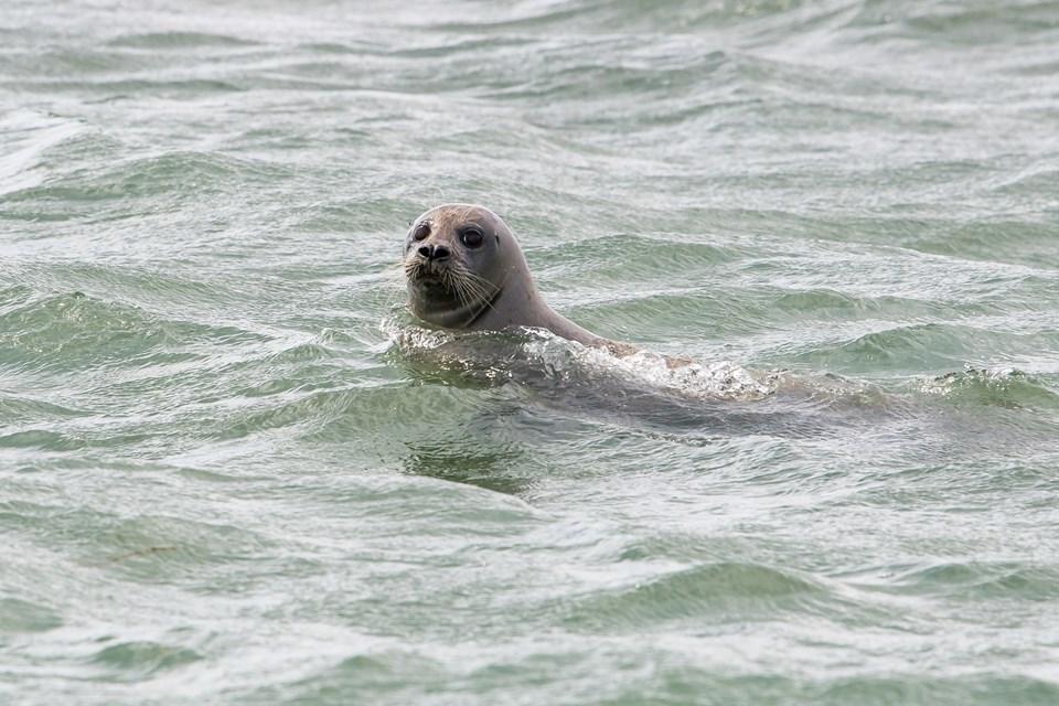 Denne spættet sæl, som der findes 800-1000 af i det vestlige område af Limfjorden, var tilpas nysgerrig, så den kom ganske tæt på båden.