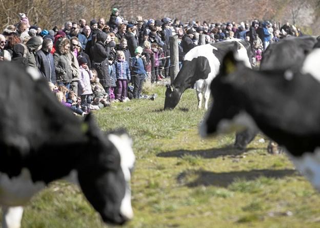 Den økologiske gård tæller et par hundrede malkekøer plus kvier og kalve. Foto: Allan Mortensen Allan Mortensen