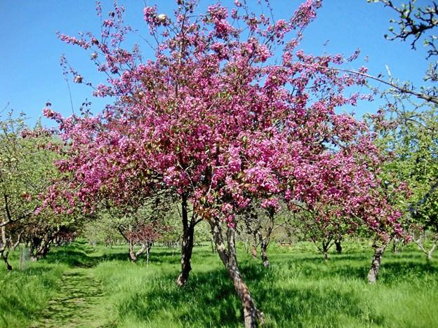 Der er nu plantet et Paradisæbletræ af sorten Manus Vibeke. Men  det varer nok nogle år før det vil tage sig så flot ud i blomstringen som her.
