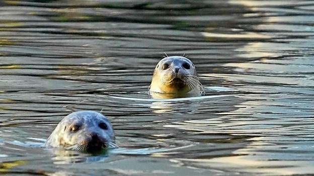 To charmerende sæler i Limfjorden er et skue, man kan se frem til ombord på Bertha K.