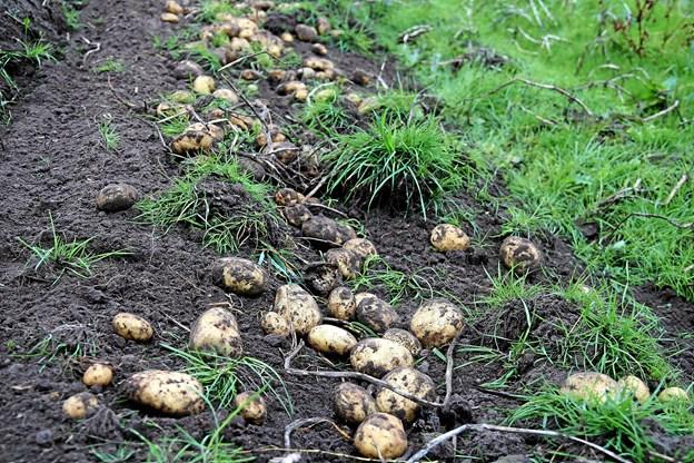 Der er mange kartofler i årets høst. Foto: Flemming Dahl Jensen