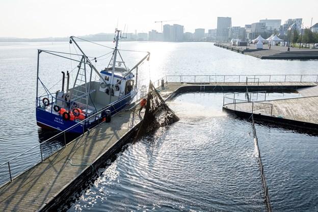 """Muslingebåden """"Sine"""" af Esbjerg har påbegyndt ophalingen af sikkerhedsnettet, og som det fremgår af billedet, så får det tonstunge net båden til at krænge til siden."""