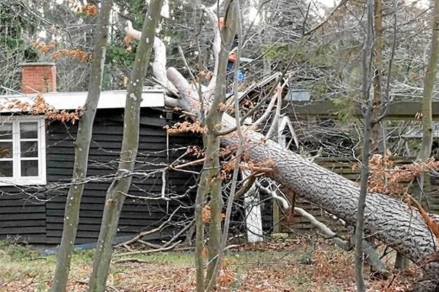 Har man store træer på sin grund, er det en god idé at tjekke dem. De store mængder regn, som er faldet over Danmark de seneste uger, gør jordbunden blød og øger risikoen for væltede træer.   Pressebillede
