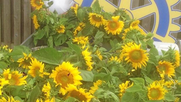Igen i år vil der være smukke Solsikker i gadebilledet i Fjerritslev. Her er Peter Eigenbroth ved at gøre klar til at fordele de smukke blomster. Privatfoto