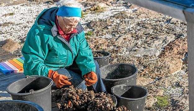 """Muslingerne tages af de """"strømper"""" de har været i, siden sidste høst. Foto: Mogens Lynge"""