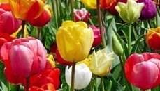 Lions Club Vesterhavsfruerne sælger igen i år tulipaner for at forebygge misbrug. Privatfoto