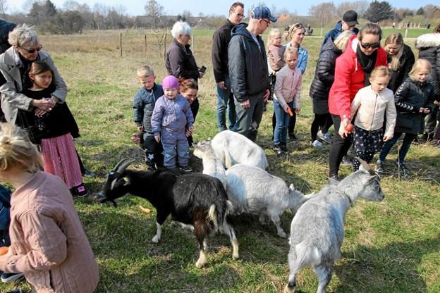Ingen tvivl om, at gederne er et stort hit, og de skal nok blive forkælet af de besøgende i løbet af sommeren. Foto: Jørgen Ingvardsen Jørgen Ingvardsen