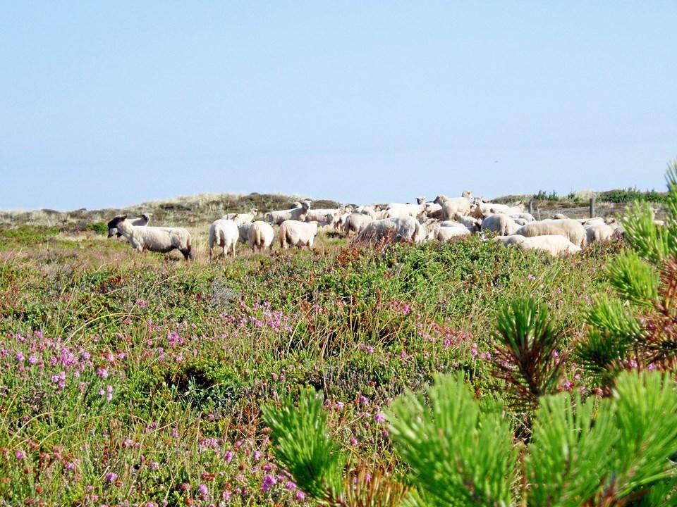 Gitte Kroll, indehaver af Thy Lam, mener - modsat biolog Morten D.D. Hansen - at fårene hører hjemme i nationalparken. Foto: Thy Lam