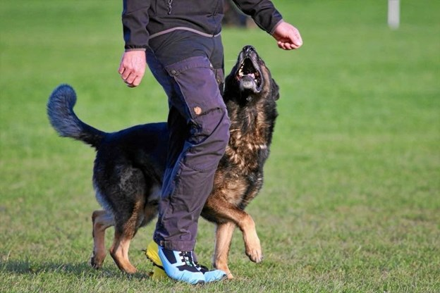 Schæferhundeklubben er vært for DM-stævne, som omfatter 45 hunde fordelt på fem hunderacer. Privatfoto