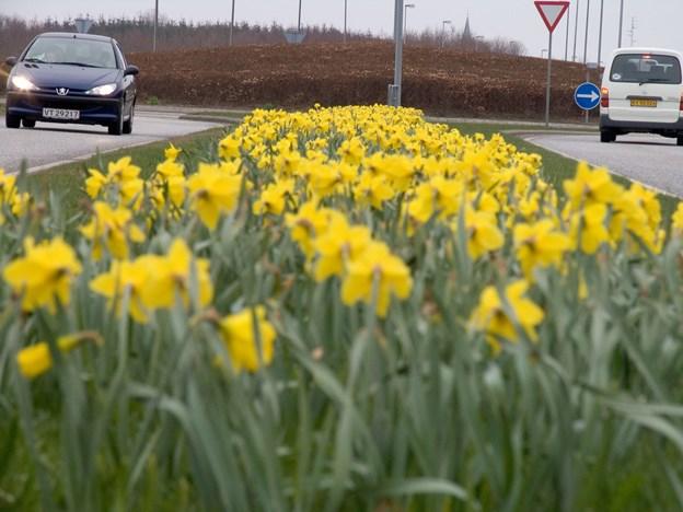 Flot ser det ud når en større flok påskeliljer blomstrer  Arkivfoto: