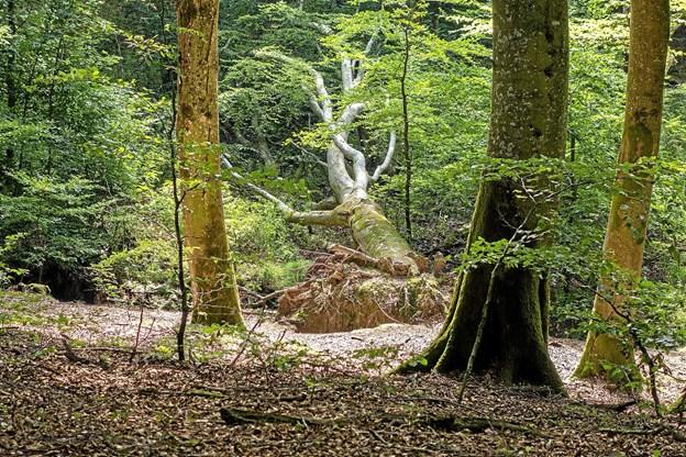 Når et træ vælter, får det som regel lov at blive liggende, da det er med til at skabe nyt liv for mange insekter. Foto: Niels Helver