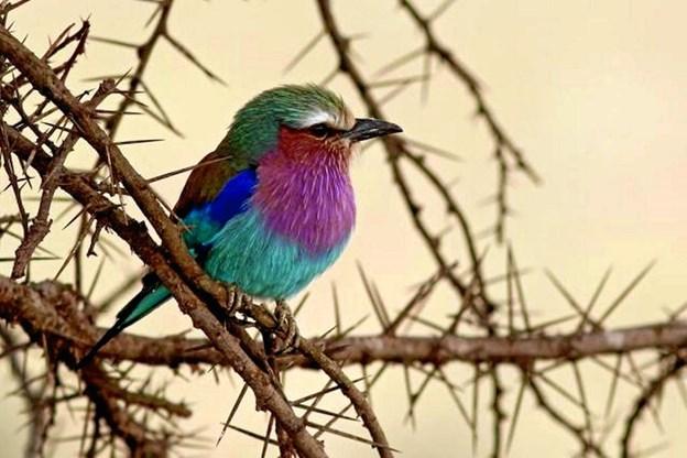 Kenya-fugl: Der er observeret op imod 1.300 forskellige fuglearter i Kenya og nabolandene. Her er det en lillabrystet ellekrage (Lilac-breasted Roller) i Nairobi National Park, Kenya.   FOTO: Hans Henrik Larsen