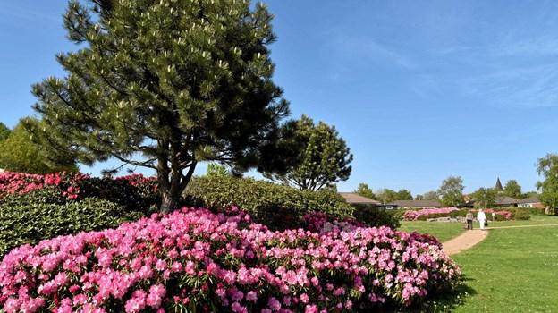 Det er skønt at gå en tur i det blomstrende anlæg på en varm og solrig søndag. Foto: Niels Helver
