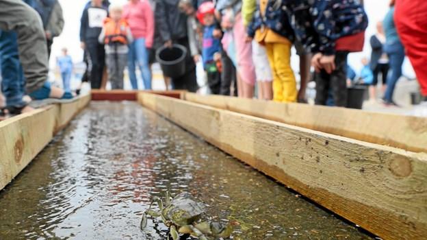 Lørdagens krabbevæddeløb blev et trækplaster for især børnefamilierne. Foto: Allan Mortensen Allan Mortensen