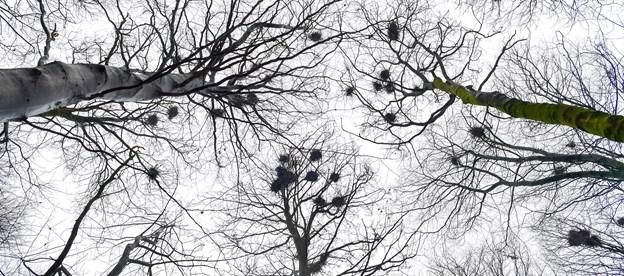Rågekolonien på Katbakken i Øster Hornum er placeret i nogle meget høje bøgetræer. Foto: Jesper Thomasen.