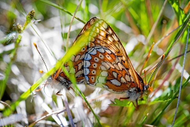 Hedepletvinge er en af de sommerfugle, som lever meget få steder i Danmark blandt andet på Skagen Odde. Foto: Karsten Frisk. Karsten Frisk