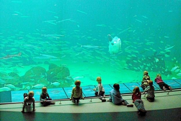 Oceanariet i Hirtshals har bud til folk i alle aldre og Skagen Lokahistoriske Forening tager på tur der til 30. maj . Foto: Nordsøen Oceanarium