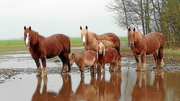 Fem heste på marken efter en regnfuld dag. Foto: Tina Toft