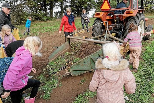 Kartoffeloptageren spyttede kartofler ud af maskinen til glæde for de mange besøgende, og der var rift om kartoflerne. Foto: Niels Helver