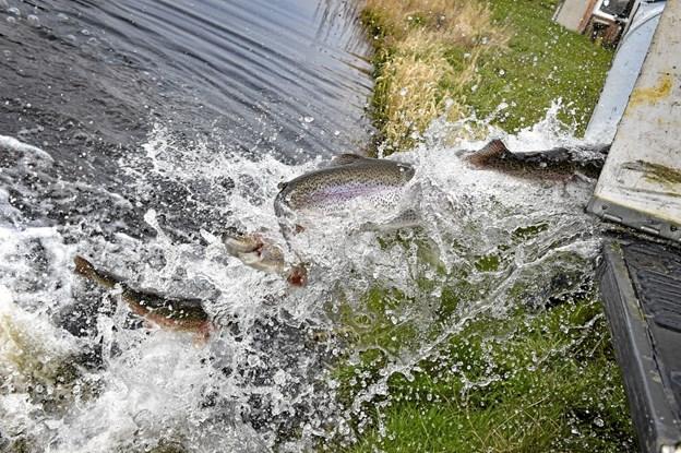 Fisk i størrelsen 1-3 kilo blev onsdag sat ud. Foto: Ole Iversen Ole Iversen