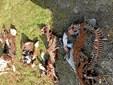 Syv kalve fundet dræbt: Er ulven på spil igen?