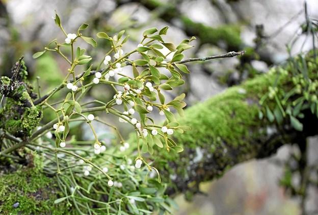 For at få bær på egen mistelten, skal man have både han- og hunplanter. Derfor skal man så flere bær på samme træ. Grøn Kommunikation