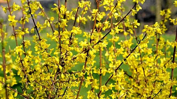 Forsytiabuskene lyser op i haverne. Foto: Niels Helver Niels Helver