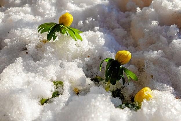 Nu titter erantis frem og varsler snarligt forår. Foto: Niels Helver