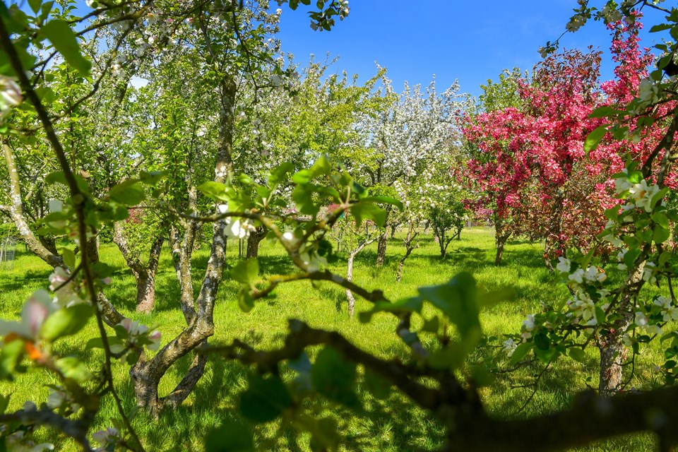 Paradisæbletræerne blomstrer i Nellemanns Have Sæby, og da vi gik en tur i den skønne have, syntes vi aldrig, der havde været så mange blomster på træerne. JESPER THOMASEN