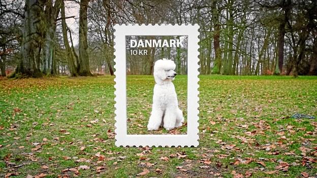 Måske har du den sødeste, hvide puddelhund. Foto. PostNord.