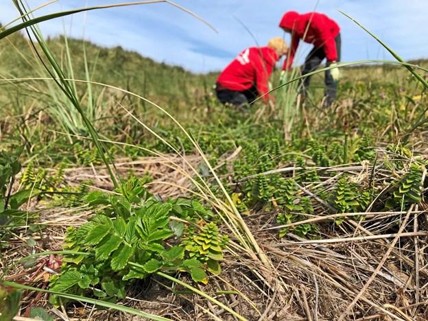 De belgiske spejdere skal blandt andet fjerne de nye skud af rynket rose, som har overlevet de sidste par års mekaniske bekæmpelse af den invasive plante.Foto: Nationalpark Thy