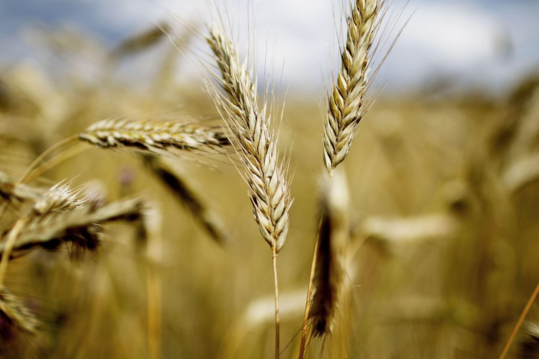 Flere landmænd omlægger til økologi. For første gang er over ti procent af landbrugsarealet økologisk.