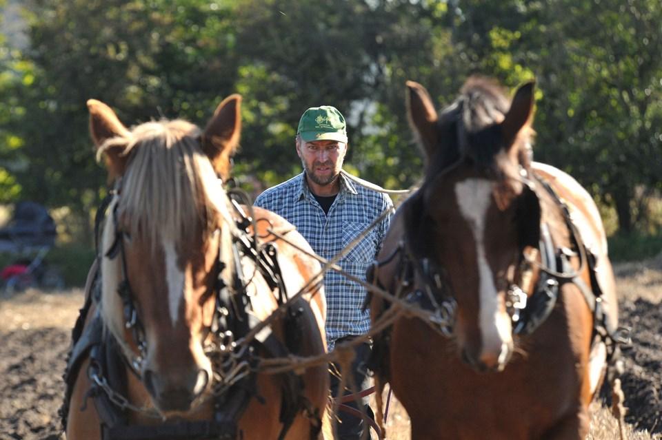 Tungen lige i munden for Joakim Andersen, Viborg og hans to Schleswiger heste. Foto: Ole Iversen