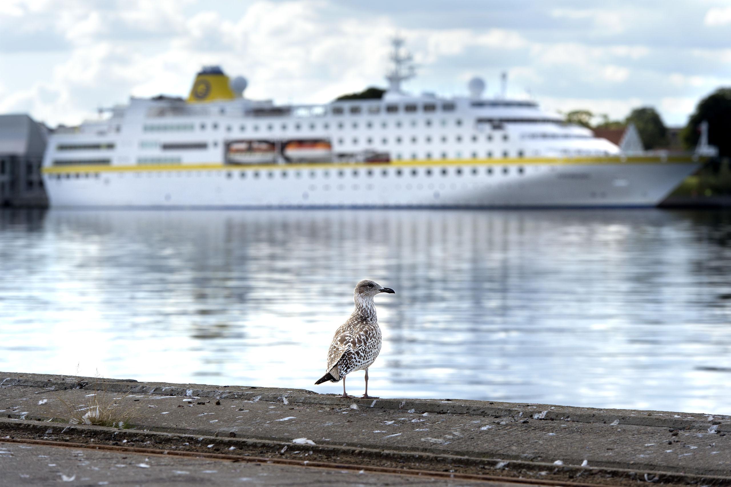 Aalborg får i 2020 besøg af ikke færre end 44 krydstogtskibe, så der bliver noget at se på for ikke blot mågen her på billedet - men såmænd også for alle andre tobenede tilskuere, der sætter pris på at se et elegant krydstogtskib. Arkivfoto: Torben Hansen