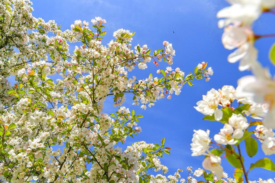 Paradisæblertræerne blomstrer i Nellemanns have i Sæby, og vi går en tur i den skønne have.   Foto: Jesper Thomasen JESPER THOMASEN