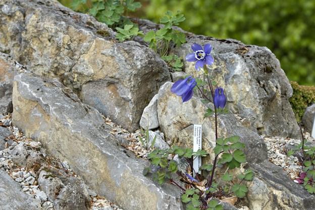 Små alpine planter skyder op over alt i sprækkerne mellem de gule kalksten i Bangsbo Botaniske Have. Her et foto fra 2015