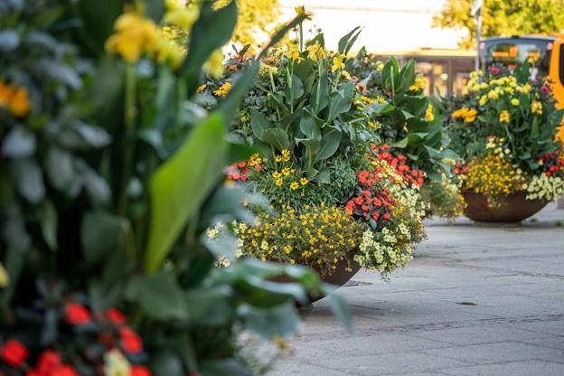 Omkring 1. oktober skiftes blomsterne ud medlyng. Foto: Henrik Bo