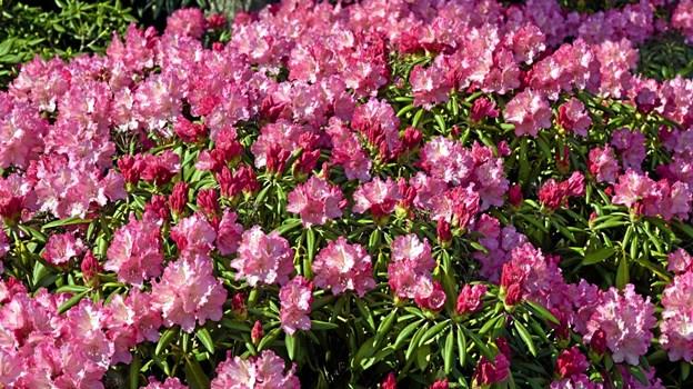 Lige nu blomstrer de mange store rhododendronbuske i flere forskellige farver. Foto: Niels Helver Niels Helver