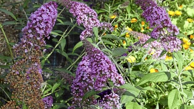 Blomstrende Buddleja – sommerfuglebusk - er et af højdepunkterne i haverne på dette tidspunkt af året, og det er ikke kun vi mennesker, der synes godt om sommerfuglebuskenes blomster. Det gør sommerfuglene også, og derfor er det også oplagt, at Buddleja har fået det danske navn: sommerfuglebusk. Privatfoto