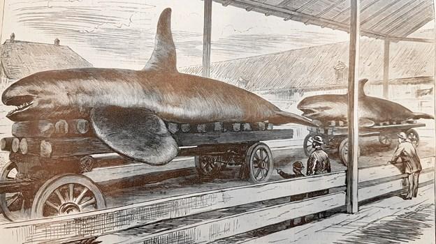 Spækhugger-billedet viser to individer fra Als Odde i 1891 som siden blev udstillet i Leipzig i Tyskland.