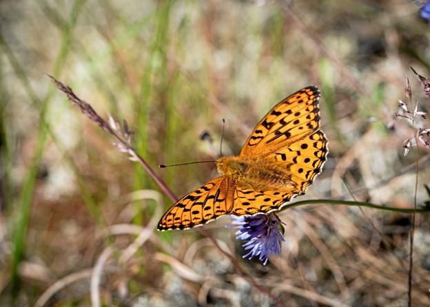 Dette er en Perlemors sommerfugl. Foto: Karsten Frisk. KARSTEN FRISK