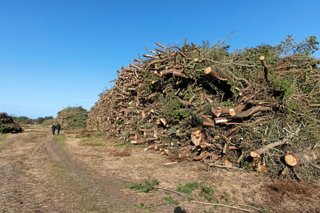 Fyrretræerne sår sig selv og der har været rigtig mange af dem, og de kvæler meget andet vegetation. Derfor er de blevet fældet og disse kæmpestakke har man kunne se mange steder de seneste år. KARSTEN FRISK